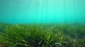ambiance : Underwater a grassy seabed with natural sunlight in the Mediterranean sea, Neptune grass Posidonia oceanica, Costa Brava, Catalonia, Spain