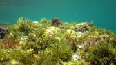 spain : The diversity of seaweeds underwater in the Mediterranean sea in spring, Costa Brava, Catalonia, Spain