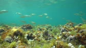 alicante : A school of fish (Sarpa salpa) in shallow water with seaweeds on the seabed, Mediterranean sea, underwater scene, natural light, Denia, Alicante, Costa Blanca, Spain