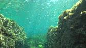 underwater video : A school of bogue fish (Boops boops) underwater in the Mediterranean sea, La Isleta del Moro, Cabo de Gata-Níjar natural park, Almeria, Andalusia, Spain Stock Footage