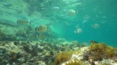 alicante : A shoal of fishes (mostly white and saddled seabream fish) in shallow water between water surface and rock, underwater scene, Mediterranean sea, Denia, Alicante, Costa Blanca, Spain