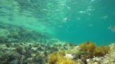 alicante : Mediterranean sea underwater a shoal of fishes below water surface (mostly saddled and white seabream fish ), Denia, Alicante, Costa Blanca, Spain