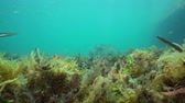해초 : Underwater algae and seagrass torn off by the swell on the seabed with some fish, Mediterranean sea, Cap de Creus, Costa Brava, Catalonia, Spain