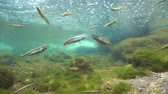 pirineus : River underwater with a shoal of small fishes (mostly Eurasian minnow, Phoxinus phoxinus),  La Muga, Girona, Alt Emporda, Catalonia, Spain