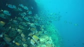 Средиземное море : Fish shoal of common two-banded sea bream, Diplodus vulgaris, underwater in the Mediterranean sea, marine reserve of Cerbere Banyuls, Pyrenees-Orientales, Roussillon, France Стоковые видеозаписи