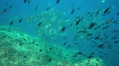 pyrenees : Shoal of fish underwater in the Mediterranean sea, common two-banded sea bream with damselfish, marine reserve of Cerbere Banyuls, Pyrenees-Orientales, Roussillon, France Stock Footage