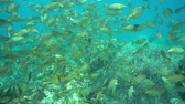 hiszpania : Shoal of fish underwater in the Mediterranean sea ( dreamfish, Sarpa salpa ), Catalonia, Costa Brava, Spain