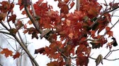 холодный : red maple leaves
