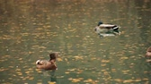 float : ducks swim in the pond