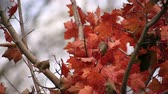 przeziębienie : maple with red leaves