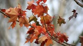 maple leaves sway Stock Footage