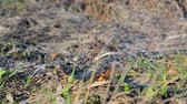 veld : Burning dry grass closeup. Dry grass burns only sprouted green grass Stock Footage