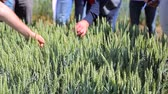 vědec : Group of scientists is studying the growth of wheat varieties in the experimental area. Agricultural industry and study of wheat varieties