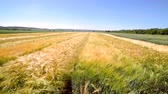 feno : The motion of the camera above the field is laced with various varieties of rye. Research varieties