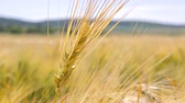milharal : Yellow spike close-up in the field, swinging wind. The harvest of wheat