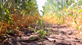 siano : Weed that grows on the pathway between wheat and rye sowing. Macro shooting pests in the fields Wideo