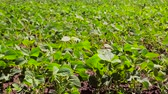 стручок : Soybean Field Just sprouted soy in a field with green leaflets. Background