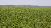 lusk : A large field of green peas. Background