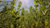 стручок : Green peas grow in the field against the blue sky and the sun that shines into the camera. View from bottom to top Стоковые видеозаписи