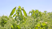 стручок : Close - up of young green peas that grew up in the field Стоковые видеозаписи