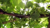 vinařství : Vineyard close-up. The ray of sun penetrates through the grape leaves. Camera movement.