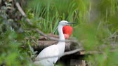 proximidade : White heron is in close proximity in the green grass, and watches. Stock Footage