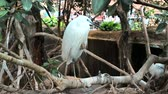 garça : White heron is in close proximity in the green grass, and watches. Vídeos