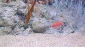 juvenil : One red, small ocean fish on the bottom of the ocean in search of food is surrounded by coral Stock Footage