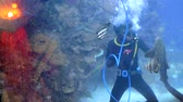 feeding fish aquarium : diver is in a big aquarium between tropical fish and sharks and feeds them from the hands Stock Footage