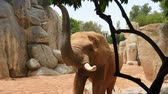 fildişi : African elephant walks zoo between large stones and rocks.