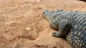 krokodyl : Large crocodile close-up sleeping on a light orange ground with small stones. Next is a yellow leaf Wideo