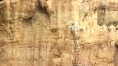 길게 나부 끼다 : A giraffe licking a wall of stone on a Sunny day 무비클립