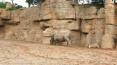 rhino poaching : A rhinoceros that walks on the sand near a stone wall, and a small white duck that follows him, in search of food. Stock Footage
