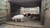 kismalac : Herd of pigs are driven into the aviary. Pigs that are in a cage