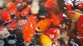 open mond : Close up school of fish, koi fish, fancy crap swimming in fish tank or pond. Animal pets in zen style and asian culture, footage from above view. Stockvideo