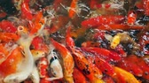 amontoado : Large group of koi crap fish in water is scrambling for food and making water splash, footage from above in slow motion. Vídeos