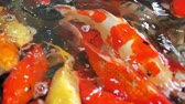 open mond : Close up school of fish, koi fish, fancy crap swimming in pond. Animal pets in zen style and east asian culture, slow motion footage from above view. Stockvideo