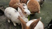 králíček : Group of bunny rabbit eating food in the large rabbit hutch at the zoo and one rabbit standing, animal concept. Slow motion video. Dostupné videozáznamy