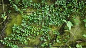плющ : Tracking shot of green ivy creeper plants on the garden wall in vintage style, Thailand. Nature background and life concepts. Стоковые видеозаписи