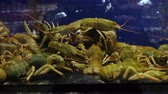 mínimo : These are the crayfish, the breeders that were raised for commercial distribution as well as the prawns. Inside the aquarium is a simulation of natural ecosystems.