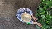 man farmer working in vegetable garden, take care of plants of cucumber, top view and copy space template.