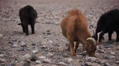 desert sheep : Brown goat with horns grazed, looking for food in poorest stony soil. Large areas with poor vegetation and stones for agriculture in harsh asian Mongolian territory. Grassland on the rural outskirts
