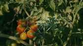 perfection : pluck a branch of tomatoes
