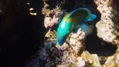 анемон : Parrot fish swimming among a coral reef