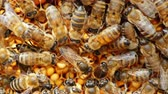 uniqueness : Large queen bee lays eggs in the cell. It is surrounded by other bees and feed it