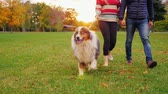 Australian Shepherd on a walk with the hosts. At sunset in the autumn park