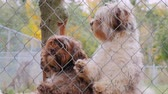 umma : Dogs breed Havanese look out of the kennel fence, waiting for the owner