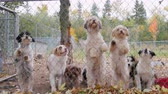 umma : Lots of cute puppies barking and jumping at the kennel fence. Ready for adoption Stok Video