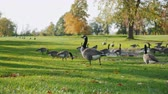 размыто : Canada Geese grazing on green meadow. In one of the parks in Buffalo, United States Стоковые видеозаписи