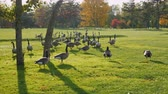размыто : On green meadow walks flock of Canada Geese. Clear autumn day, Crystal clear air. Park in Buffalo, USA